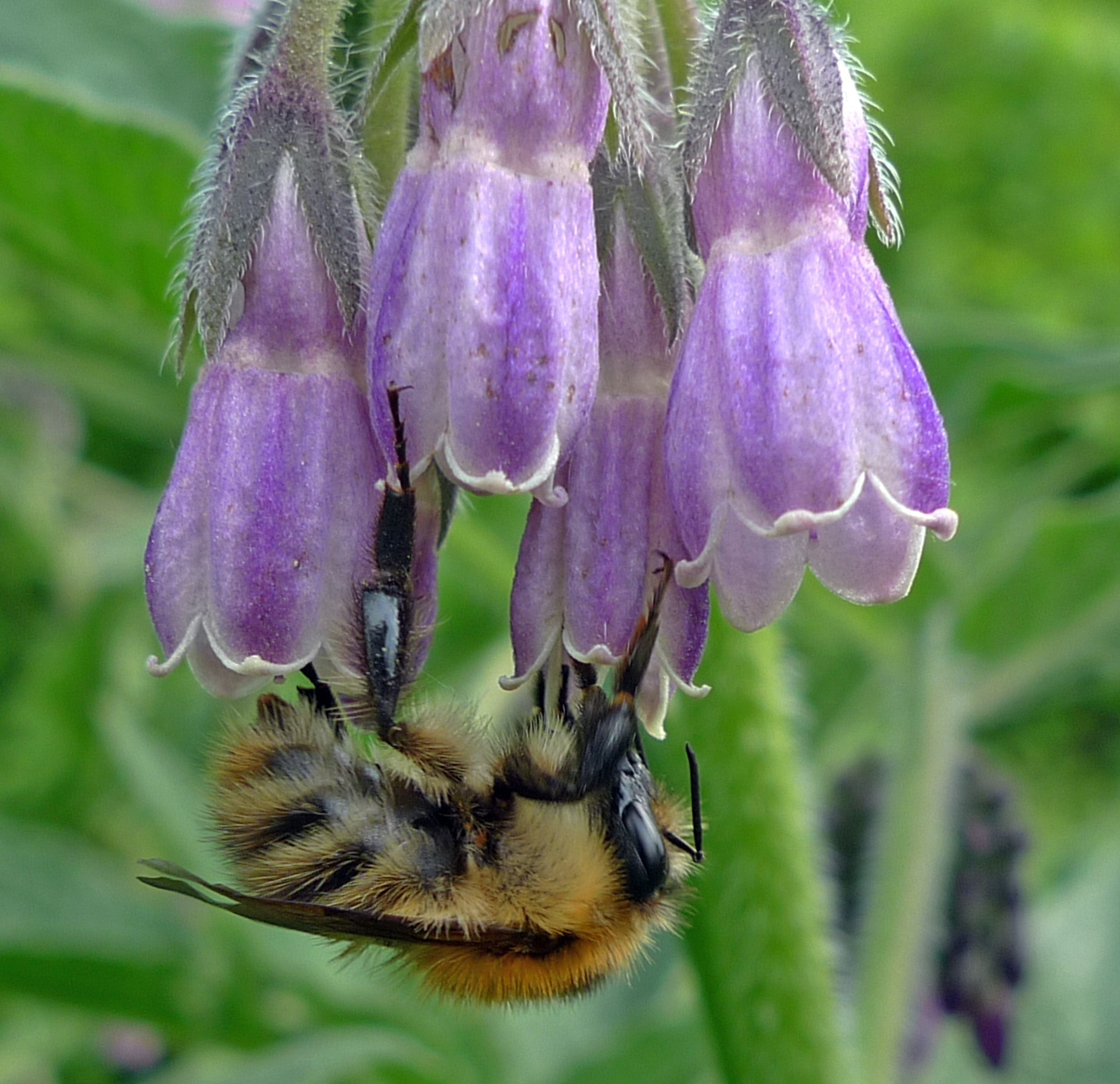 Bumble bee and Comfrey