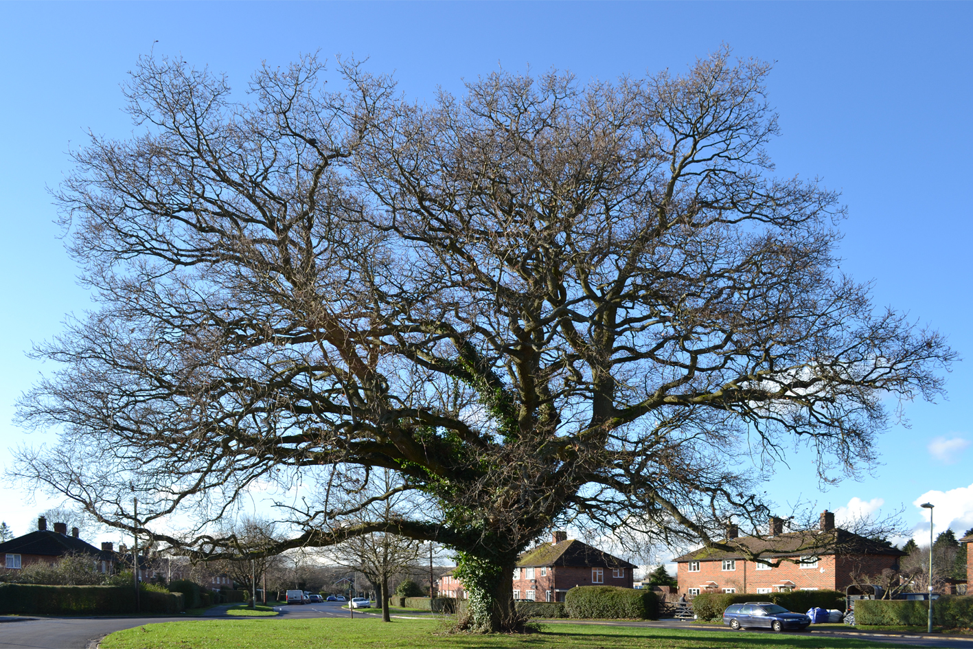 Merchistoun Oak